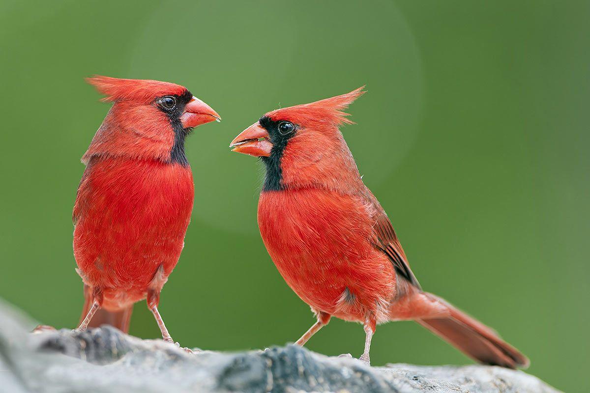 Rotes Tier