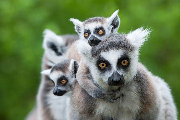 Lemur Als Haustier Geht Das