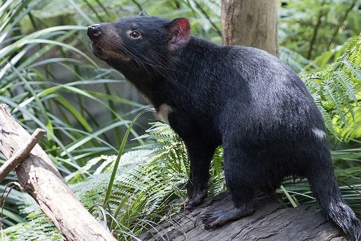 36 Bilder Tasmanischer Teufel - Besten Bilder von ausmalbilder