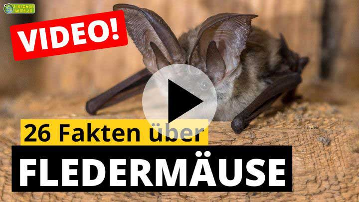 Video Fledermäuse