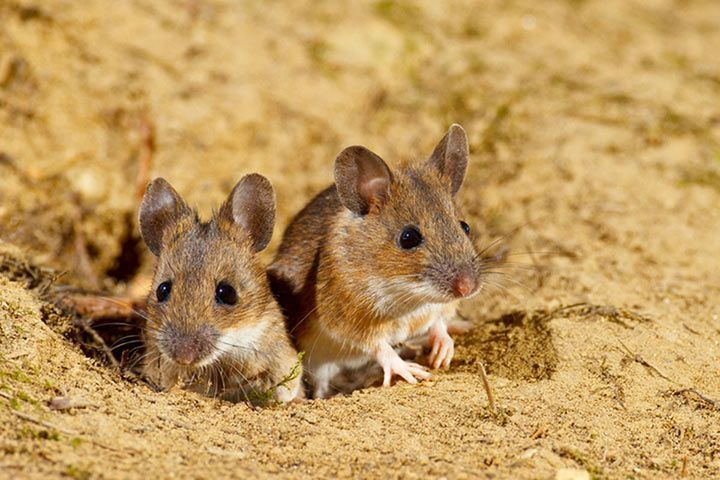 Was Fressen Mäuse maus