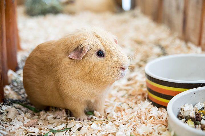 Zähne nachwachsen meerschweinchen können Zähne: Selbstheilungs