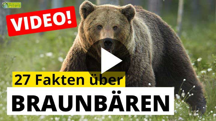 Video Braunbären