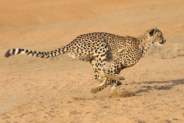 Die Schnellsten Tiere