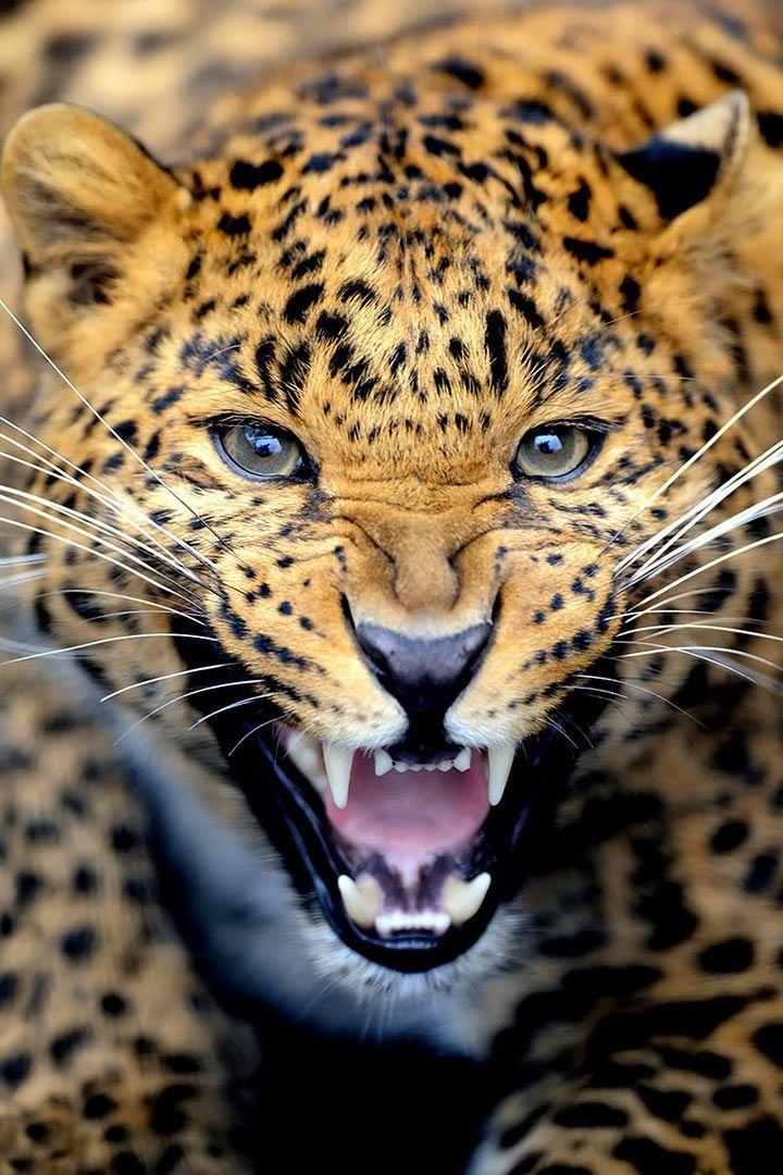 panther puma unterschied