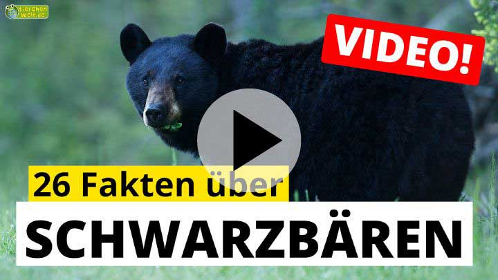 Video Schwarzbären