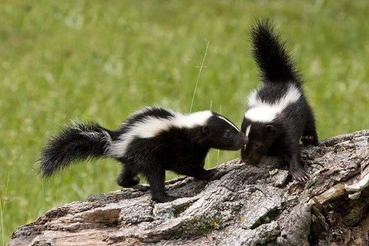 skunks ernährung