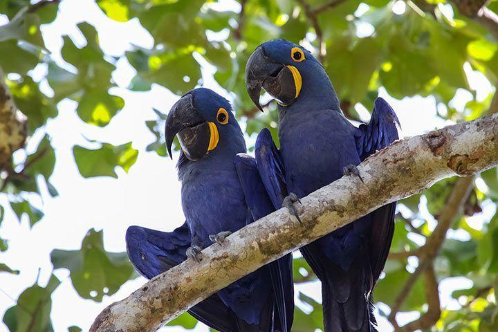 Blauer ara papagei