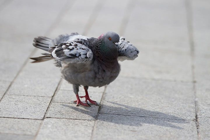 wie schnell fliegt eine taube