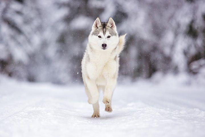 Siberian husky runs through the snow