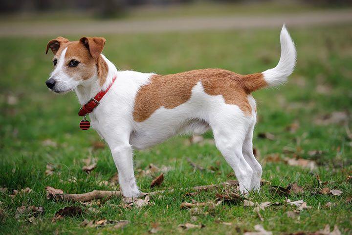 jack russell terrier weiß braun