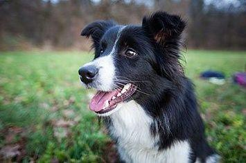 Border Collie M