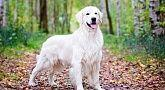 Golden Retriever Wald M