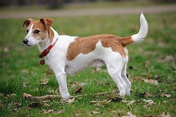 Jack Russell Terrier M