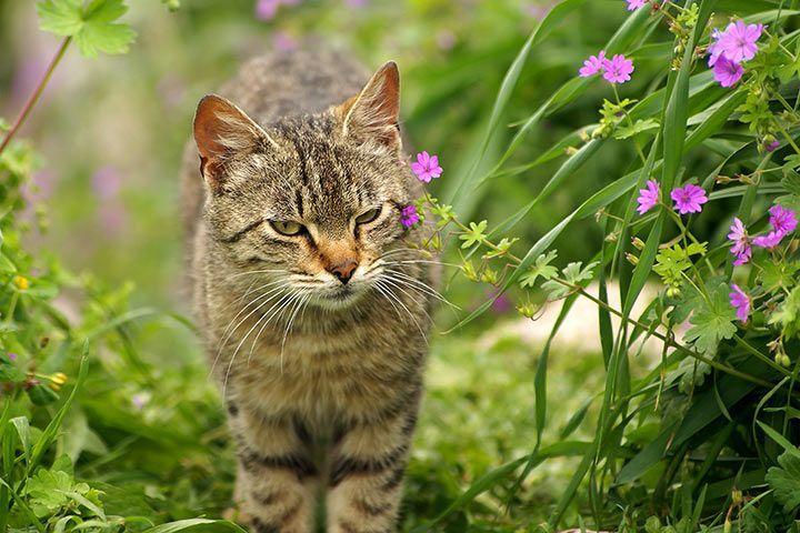 Europaisch Kurzhaar Katze Fell Rasse Charakter
