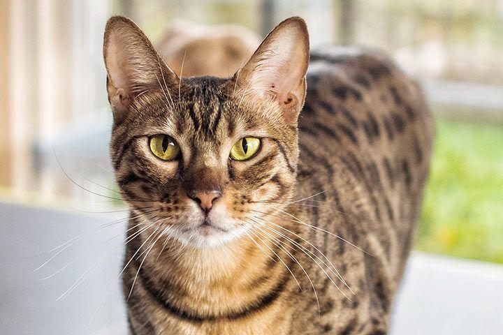 Schildpatt Katze Warrior Cats
