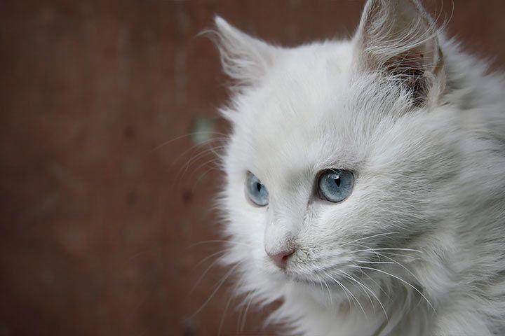 Angora Katze