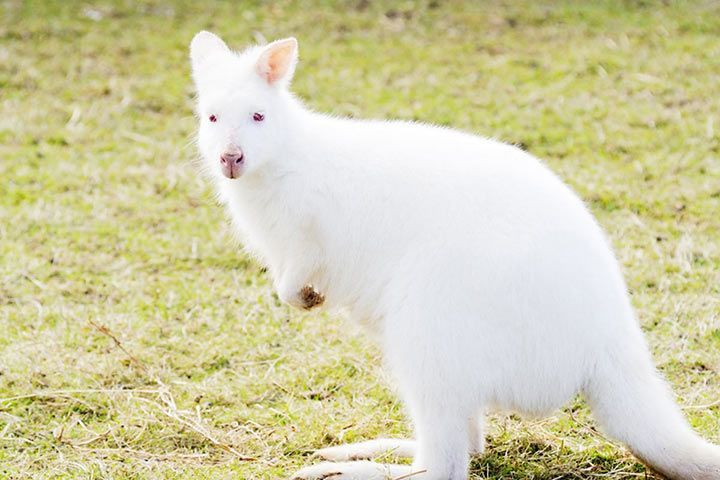 Albino-Wallaby