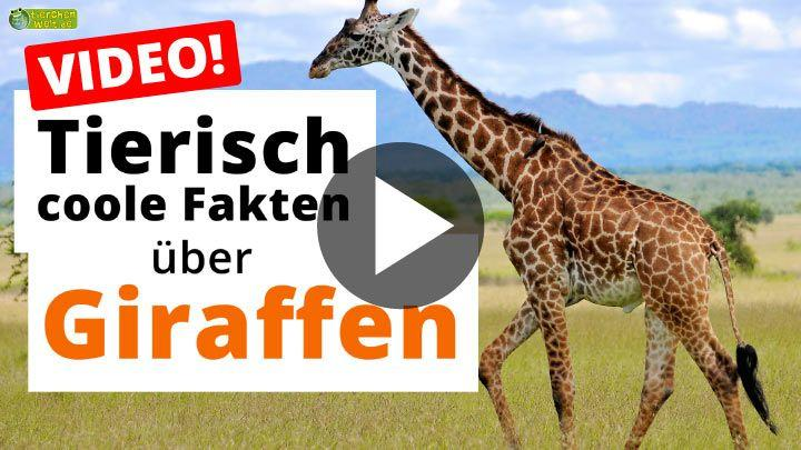 Video Giraffe