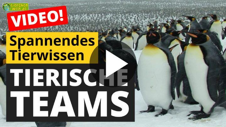 Video Tierische Teams